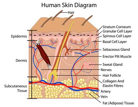 Human Skin Diagram Microdermabrasion